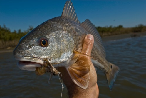 laredfish-fish-3