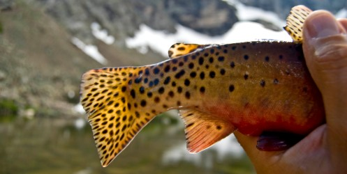 green back cutthroat tail