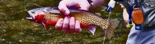 green back cutthroat