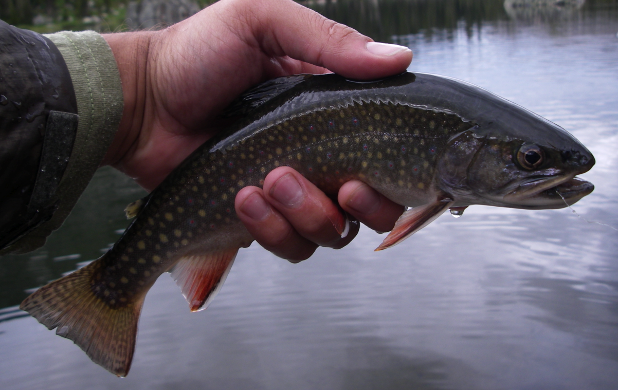 Holy Cross Brook Trout