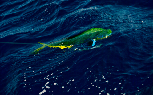 Colorful dorado in water