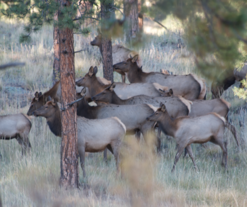 Herd of Cow Elk